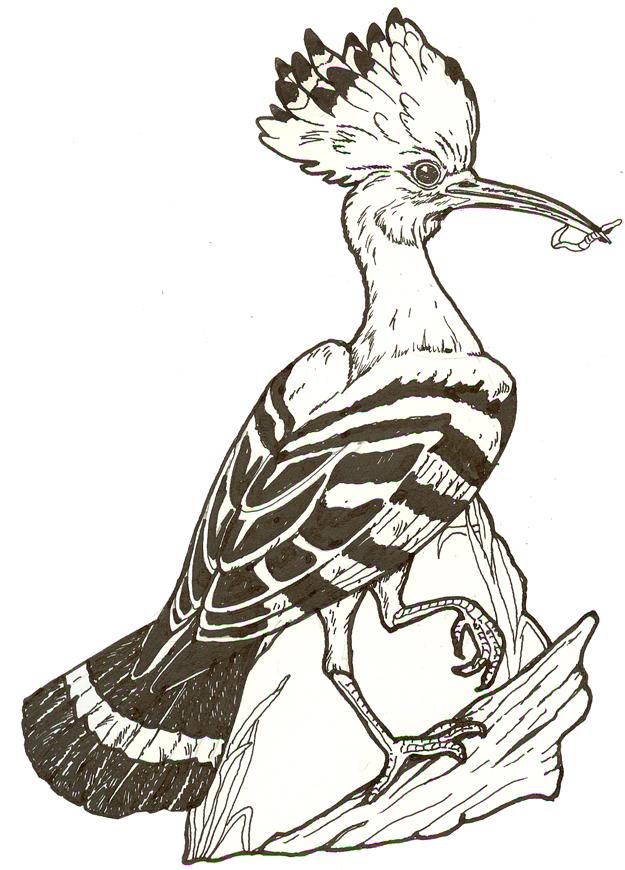 Раскраска птицы удод
