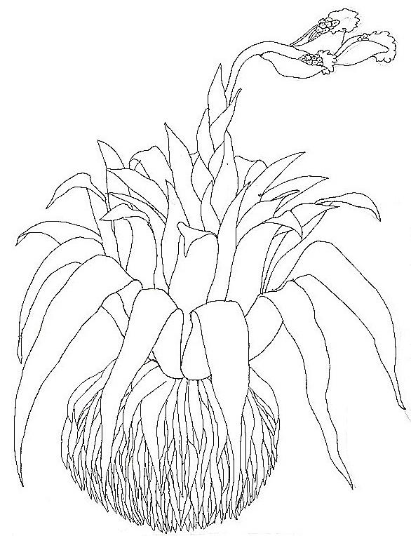 Umbrella Coloring Close Up Bromeliad Reverse